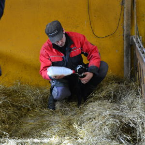 Fårbonden Jonas Nord matar ett lamm. Lammet i fråga har blivit bortstött av sin mamma så därför får Jonas rycka in och se till att det får i sig mjölk.