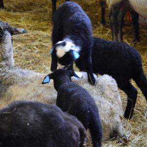 Lamm leker på ett fårs rygg.