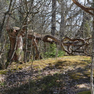 Gamla ekar vid Vaarniemi naturskyddsområde