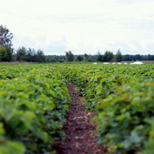 Dessa jordgubbsbuskar ska ge mogna jordgubbar under nästa vecka.