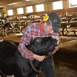 Kalven Maija är nu sju månader och ska om ett och ett halvt år ge mjölk åt sin ägare Johan Wasström.