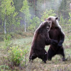 Brunbjörnar brottas
