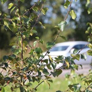 Bil skymd bakom löv.