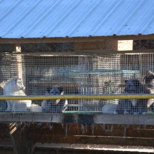 Rävar i burar i pälsfarm