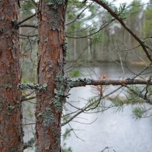 pomponrahka, helt åt skogen,