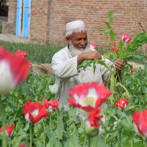 Odling av opiumvallmo i Afghanistan
