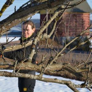 Malena Jordas beskär ett äppelträd.