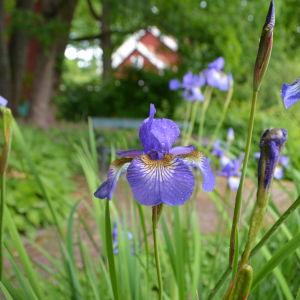 Närbild av blomma.