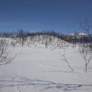 Jäljet keväthangella tunturikoivikossa Kilpisjärvellä.