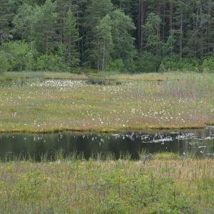 Ängsull i Stora Masugnsträsket i Dalsbruk.