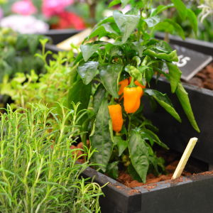 Orange liten paprika växer i en odlingslåda.