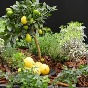 Litet citronträd i en odlingslåda.
