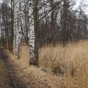 En björkallé längs en väg. Lilludden i Ingå.