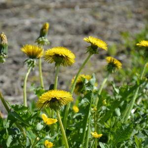 Maskrosor blommar en solig sommardag.