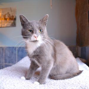 Grå katt med vit nos på Lovisa katthus.