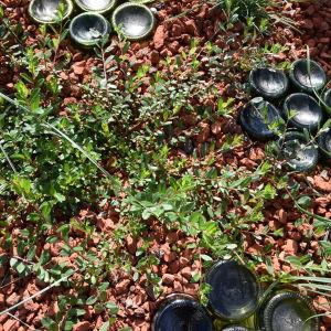 Frodig och grön videplanta 'Salix x aurora' i en rabatt med tegelkrossbädd