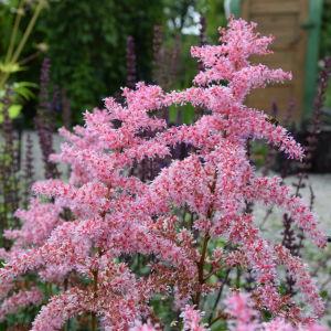 Blommande rosa astilbe