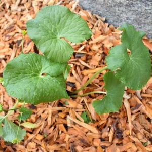 Ljust gröna blad av en liten planta kabbeleka, marken är täckt av bark