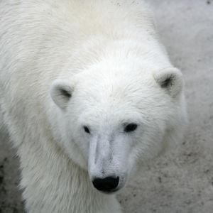 Isbjörn i Ranua djurpark.