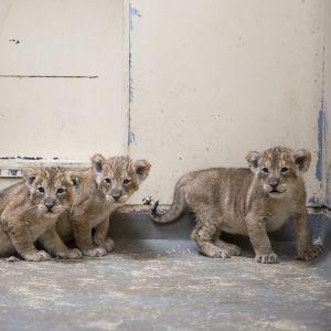 Nyfödda lejonungar på Högholmens zoo