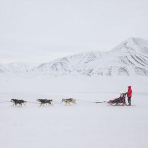 Matkailuyrittäjä opastaa koiravaljakkoaan Huippuvuorilla.