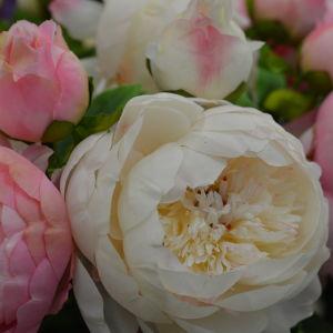 En rosa och en vit pion som slagit ut.