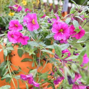 Mörkrosa blommande petunia 'Million Bells'