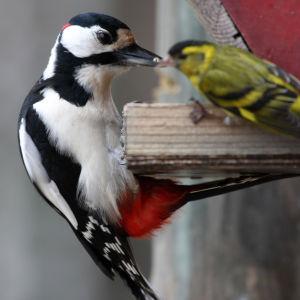Käpytikka ja vihervarpunen lintulaudalla