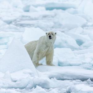 Jääkarhu jäälauttojen suojassa Huippuvuorilla.