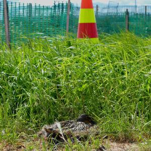 En and ruvar sina ägg mitt i byggkaoset när Suviseurat ställer i ordning för sommarmöte på Söderfjärden i Vasa.