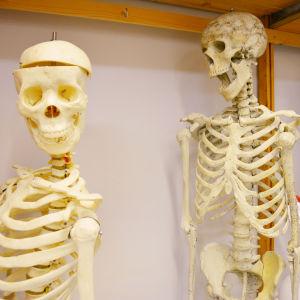 Två människoskelett.