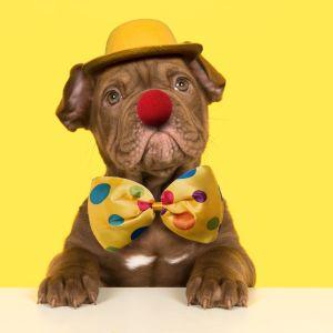 En hund med en röd lösnäsa och gul hatt och färggrann fluga.