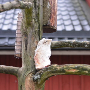 Fågelfett, talg upphängt i ett dött träd.