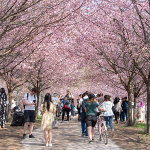 Människor promenerar under körsbärsträd som blommar.