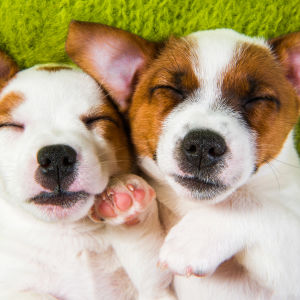 Två terrierhundar som ligger bredvid varandra på rygg och ser mot kameran.
