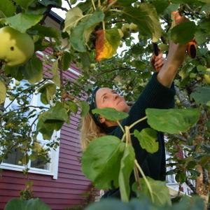 Lena Gillberg beskär äppelträd