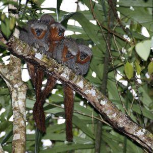 En grupp apor som tillhör arten Zogue Zogue Rabo de Fogo sitter på en trädgren i Amazonas.