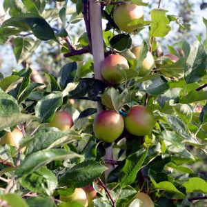 Rödgröna äppel hänger i klasar på ett äppelträd.