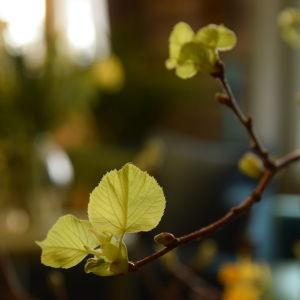 Närbild av en kvist med skogslind som håller på att slå ut sina blad.