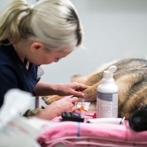 Blodprov på hund