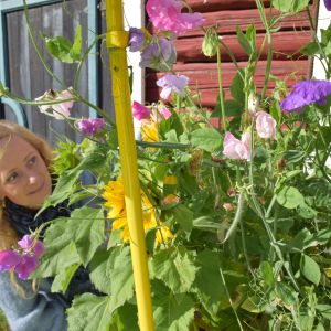 Nainen katsåå hejuherneitä ja auringonkukkia.