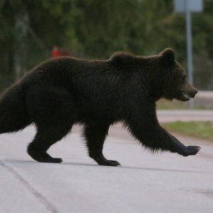 Karhu tiellä Myllykoskella