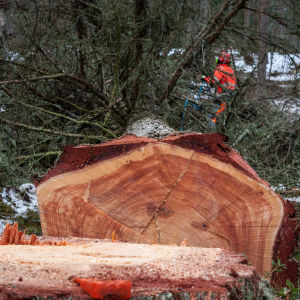 Gammalt lärkträd som har fällts, man ser årsringarna och stubben.