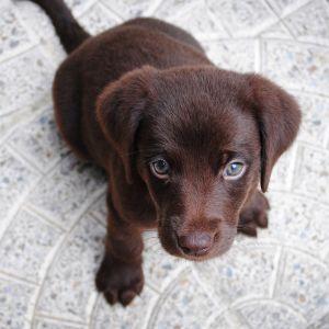 pieni koiranpentu