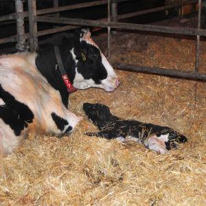 Kon Jenni har fått en kalv! Kalven heter Maija och bor i Johan Wasströms ladugård i Svartå.