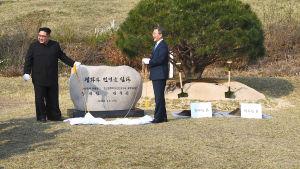 Nord- och Sydkoreas ledare planterar ett träd vid gränsen mellan länderna.