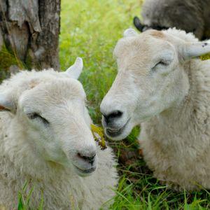 Två vita får ligger i gräset