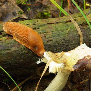 Espanjansiruetana syö sientä metsässä.