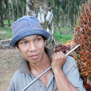 Flertalet av dem som jobbar på oljepalmplantagerna i Malaysia är gästarbetare från grannländerna. Arbetet är tungt, för en frukt kan väga 40 kilogram