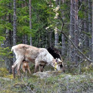Lauhanvuoren ensimmäinen villi metsäpeuranvasa syntynyt